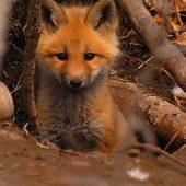 Mignonnerie du soir #renard … #bonsoir